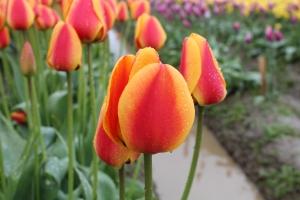 Amazing Race Tulip?
