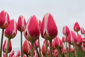 Even more tulips
