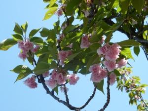 A few cherry blossoms left
