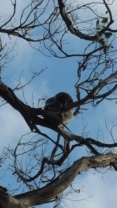 Koala in the gum tree