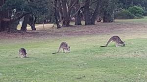 Kangaroos!!
